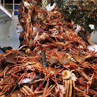 底引き網漁船に引き揚げられたズワイガニ。市場で多くの雄は1万円以上になる=兵庫県新温泉町沖で2019年11月6日午前4時29分、小出洋平撮影
