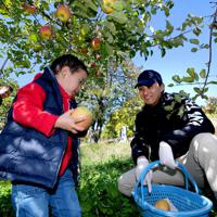 ボランティアの親子と一緒に台風19号の浸水被害から逃れたリンゴを収穫する徳永虎千代さん(右)=長野市豊野町で2019年11月9日午前10時41分、竹内紀臣撮影