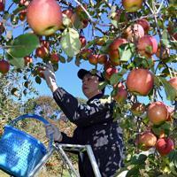 台風19号などの浸水被害から逃れたリンゴを収穫する徳永虎千代さん=長野市豊野で2019年11月9日午前11時1分、竹内紀臣撮影