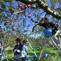 ボランティアと共に、台風19号などの浸水被害から逃れたリンゴを収穫する徳永虎千代さん(右)=長野市豊野で2019年11月9日午前11時35分、竹内紀臣撮影