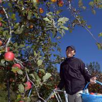 台風19号などの浸水被害から逃れたリンゴを笑顔で収穫する徳永虎千代さん=長野市豊野で2019年11月9日午前10時27分、竹内紀臣撮影