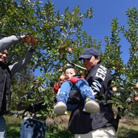 ボランティアの親子と共に、台風19号などの浸水被害から逃れたリンゴを収穫する徳永虎千代さん(右)=長野市豊野で2019年11月9日午前10時48分、竹内紀臣撮影