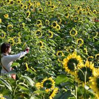 咲き誇る満開のヒマワリ=佐賀県みやき町の山田ひまわり園で2019年11月8日、田鍋公也撮影