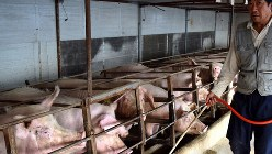 中国の養豚場。アフリカ豚コレラの猛威におびえる=中国河北省三河市で2018年11月12日、河津啓介撮影