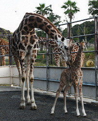 A baby giraffe is seen with her mother at Adventure World amusement park in the town of Shirahama, Wakayama Prefecture. (Photo courtesy of the facility)