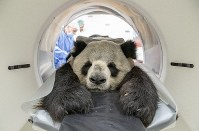 In this Nov. 7, 2019 photo, provide by the Berlin Zoo, nine years old male Panda Jiao Ling is prepared for an examination in the computer tomograph in Berlin. (Berlin Zoo via AP)