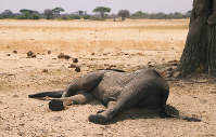 In this photo taken on Nov. 10, 2019, a dead elephant lays in the Hwange National Park, Zimbabwe. (AP Photo)