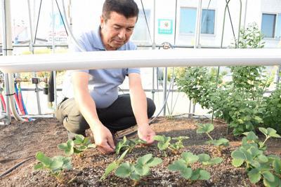 山形県尾花沢市で栽培実験をしている「とちおとめ」。上部にLED電球を設置し、日照時間を補う