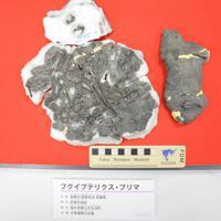 新種「フクイプテリクス・プリマ」の化石=福井県永平寺町の県立大で2019年11月14日午前11時3分、大森治幸撮影