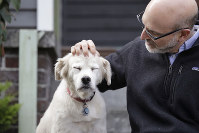 In this Nov. 11, 2019 photo, University of Washington School of Medicine researcher Daniel Promislow, the principal investigator of the Dog Aging Project grant, rubs the head of his elderly dog Frisbee at their home in Seattle. (AP Photo/Elaine Thompson)