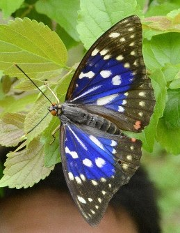 The great purple emperor, the national butterfly of Japan, is seen in this photo taken in Nabari, Mie Prefecture, in 2016. (Mainichi/Yasutoshi Tsurumi)
