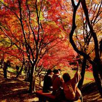 カエデの紅葉が見ごろを迎えた豊後大野市朝地町の用作公園