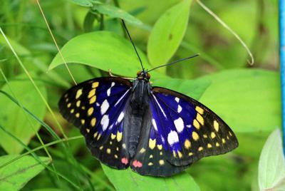 日本の国蝶、オオムラサキ