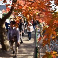 山梨県富士河口湖町の「もみじ回廊」。大勢の観光客が訪れている