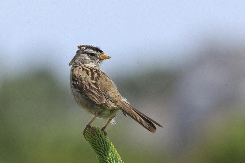 渡り鳥のミヤマシトド=米国オレゴン州で