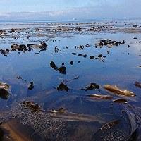 A kelp bed is seen off of Daikoku-jima Island, in waters off of Akkeshi, Hokkaido, in this image provided by professor Masahiro Nakaoka of Hokkaido University.
