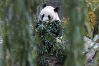 Bei Bei, a giant panda, is seen eating bamboo at the David M. Rubenstein Family Giant Panda Habitat of the Smithsonian National Zoological Park before heading back to China, on Nov 19, 2019, in Washington. (AP Photo/Michael A. McCoy)