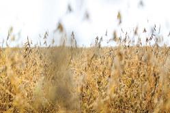 ゲノム編集を使った大豆の畑(米ミネソタ州)(Bloomberg)
