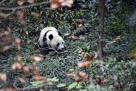 Giant panda Bei Bei explores his surroundings on his first day at the Ya'an Bifengxia Base of the Giant Panda Conservation and Research Center in Ya'an in southwestern China's Sichuan Province, on Nov. 21, 2019. (Chinatopix via AP)