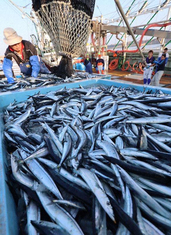 千葉県の銚子漁港で11月になって初水揚げされた今年のサンマ。過去最も遅い水揚げとなった