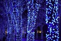 Zelkova trees are seen illuminated in Tokyo's Shibuya Ward on Nov. 28, 2019. (Mainichi/Kota Yoshida)