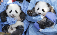 Zookeeper hold 'Meng Yuan' and 'Meng Xiang' during a name-giving event for the young panda twins at the Berlin Zoo in Berlin, Germany, on Dec. 9, 2019. (AP Photo/Michael Sohn)
