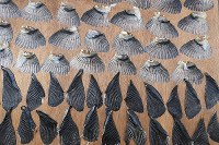 Puffer fish fins are seen arranged on a sheet of plywood to dry in the sun and wind along the Kanmon Strait in the western Japan city of Shimonoseki, Yamaguchi Prefecture, on Dec. 4, 2019. (Mainichi/Takashi Kamiiriki)