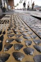 Puffer fish fins are seen drying in the sun and wind along the Kanmon Strait in the western Japan city of Shimonoseki, Yamaguchi Prefecture, on Dec. 4, 2019. (Mainichi/Takashi Kamiiriki)