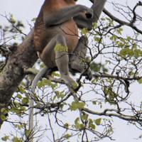 川沿いの高い木に姿を見せたテングザル=マレーシア・サバ州で、小俣三佳子さん撮影