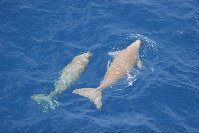 A pair of dugongs, which appear to be parent and child, are seen swimming in Okinawan waters in this July 2005 photo provided by the Ministry of the Environment.