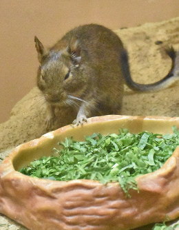 A degu, one of the rodents on display at Eco Hauchu in Saitama Children's Zoo, is seen in this image taken in Higashimatsuyama, Saitama Prefecture, Dec. 4, 2019. (Mainichi/Shu Hatakeyama)