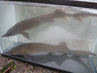 A pair of young Siberian sturgeon are seen in this image provided by Kindai University.