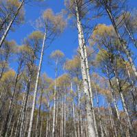 天を突くカラマツ林。伐採適期を迎えているが、伐採後の植林は最重要課題だ=山梨県北杜市で11月
