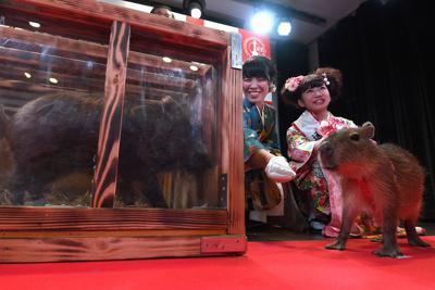 「干支の引き継ぎ式」に登場したカピバラ(右)とイノシシ=大阪市浪速区で2019年12月27日午前10時18分、久保玲撮影