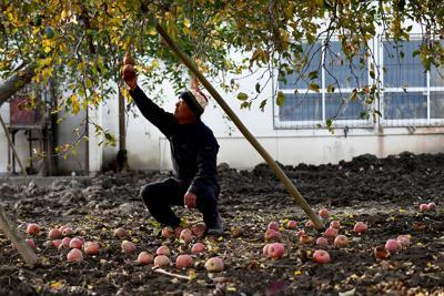 千曲川の水がつかったリンゴの実に手を伸ばす小川広さん。この木は樹齢40年。放置しておくと木に悪影響を与えるため全て廃棄した。「こんなに大きく育ったのに。リンゴが可哀そうだよ」。その姿に夕日が差していた=長野市で2019年11月21日、滝川大貴撮影