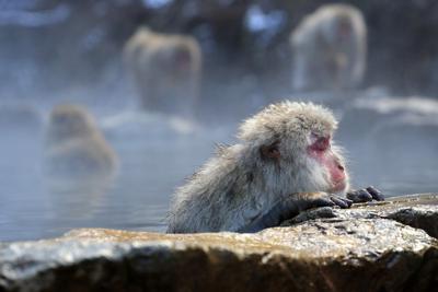 地獄谷野猿公苑の温泉に入るニホンザル=長野県山ノ内町で、梅村直承撮影