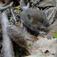 アファンの森のヒメネズミ=C.W.ニコル・アファンの森財団提供