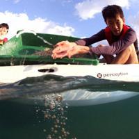 マリンバイオセメントで固めたアマモの種子を海にまく、和歌山高専の生徒=日高町方杭で、山本芳博撮影
