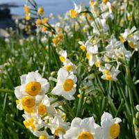 海を背にした斜面いっぱいに咲く水仙=長崎市の野母崎総合運動公園で2020年1月10日、金澤稔撮影