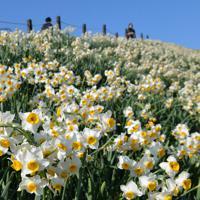 斜面いっぱいに咲く水仙=長崎市の野母崎総合運動公園で2020年1月10日、金澤稔撮影