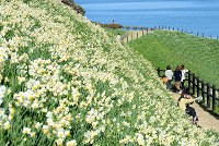 Narcissus flowers are seen covering a hill facing the sea at Nomozaki Sogo Undo Park in the city of Nagasaki, southwestern Japan, on Jan. 10, 2020. (Mainichi/Minoru Kanazawa)