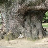 2本のクスノキが合体したという。根元の石は墓石にあらず=四條畷市雁屋南町で、松井宏員撮影