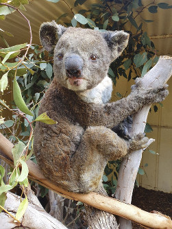 This early January 2020 photo provided by Dana Mitchell from the Kangaroo Island Wildlife Park shows a rescued koala injured in a bushfire in Kangaroo Island, Australia. (Dana Mitchell/Kangaroo Island Wildlife Park via AP)