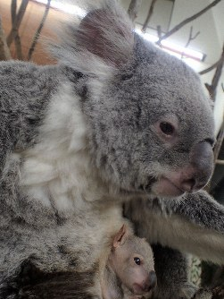 A koala joey peers out from her mother's pouch at Saitama Children's Zoo in the city of Higashimatsuyama in Saitama Prefecture, north of Tokyo. (Photo courtesy of the facility)