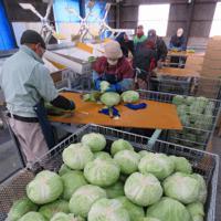 冬キャベツの出荷準備に追われる作業員たち=岐阜県海津市海津町で