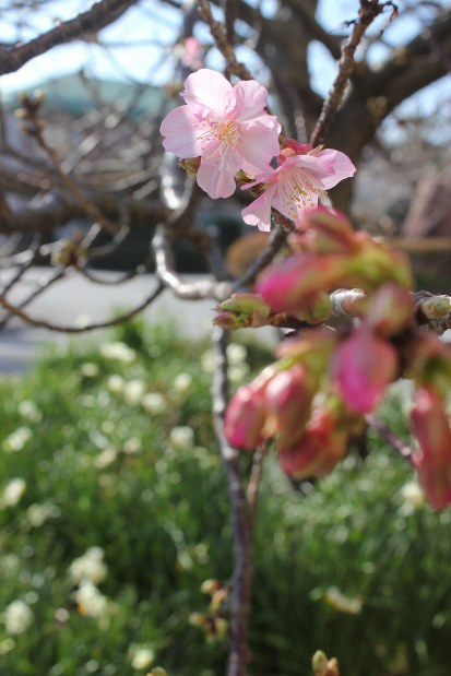 Japan Photo Journal: Early bloomer