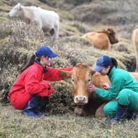放牧された赤牛をなでる飯田彩華さん(左)と若杉佳世さん。飯田さんは「ここで実習ができたからこそ、生き物の変化や成長と向き合うことができた。恵まれていた思う」=熊本県南阿蘇村で2020年1月8日、津村豊和撮影