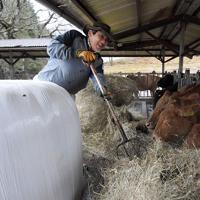 地震後も牛の世話を続けてきた大学職員の服部法文さん(64)。「阿蘇の豊富な草資源を含めた自然環境は他はない教材」=熊本県南阿蘇村で2020年1月8日、津村豊和撮影