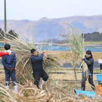 バイオ燃料の原料となるエリアンサスを収穫し、重さを量る学生たち。農場での研究は、阿蘇の休耕地の有効活用にもつながると期待されている=熊本県南阿蘇村で2020年1月17日、津村豊和撮影