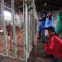 子牛と触れ合う農学部の学生たち。自身の卒業研究に直接関わりはなくてもこまめに見回り、そのたびに成長を感じている=熊本県南阿蘇村で2020年1月8日、津村豊和撮影